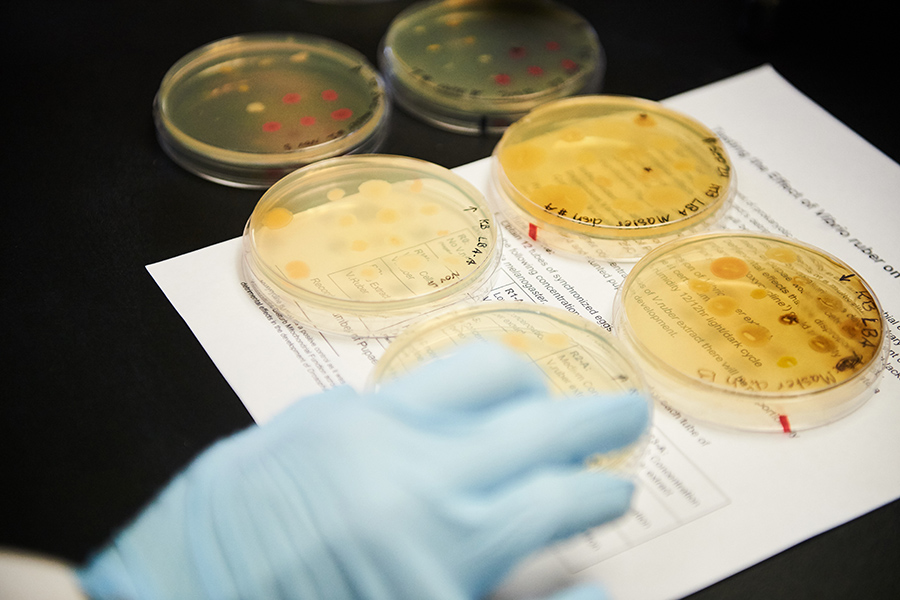 Students work with bacteria cultures in a microbiology lab